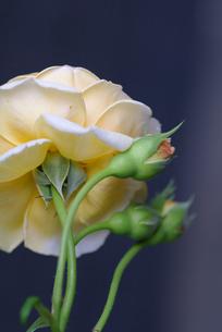 薔薇の素材 [FYI00226093]
