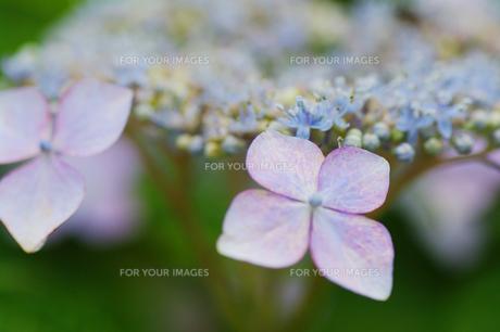 紫陽花の素材 [FYI00226095]