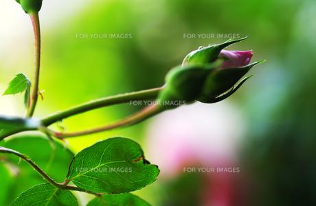 薔薇の蕾の素材 [FYI00226096]