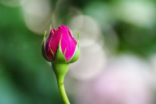薔薇の蕾の素材 [FYI00226097]