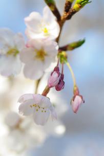 桜の蕾の素材 [FYI00226100]