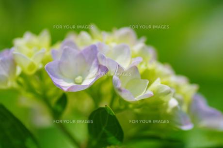 紫陽花の素材 [FYI00226101]