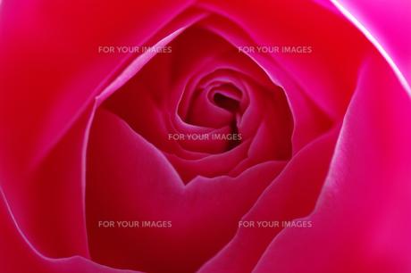 薔薇の素材 [FYI00226106]