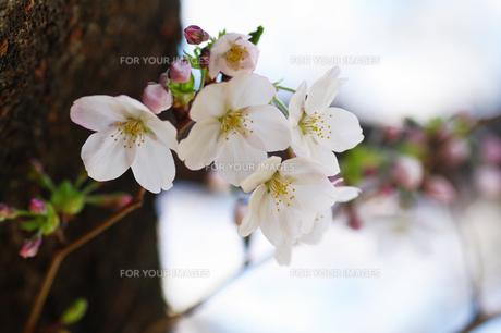 桜の素材 [FYI00226107]