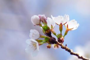 桜の素材 [FYI00226108]