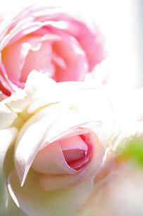 薔薇の素材 [FYI00226109]