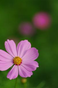 秋桜の素材 [FYI00226111]