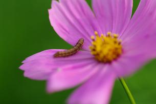 秋桜と虫の素材 [FYI00226113]