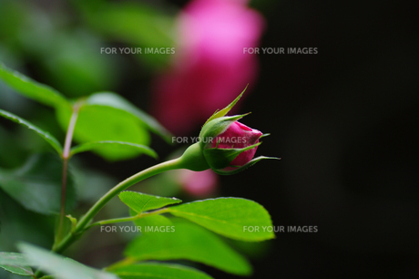 薔薇の蕾の素材 [FYI00226114]