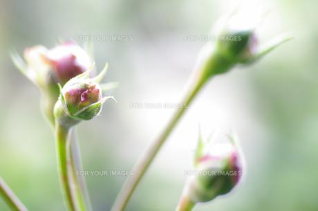薔薇の蕾の素材 [FYI00226116]