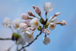 桜の素材 [FYI00226117]