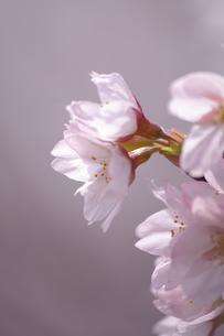 桜の素材 [FYI00226118]