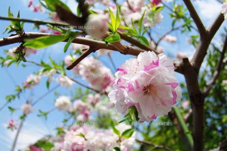 桜の素材 [FYI00226125]