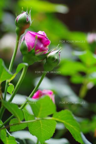 薔薇の蕾の素材 [FYI00226127]