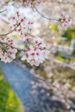 桜の素材 [FYI00226128]