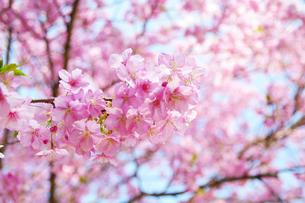 桜の素材 [FYI00226133]