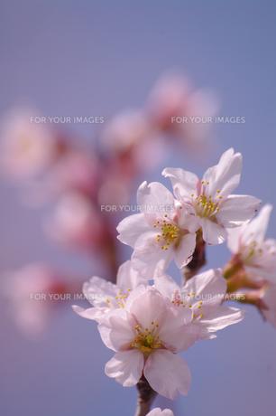 桜と公園の素材 [FYI00226134]