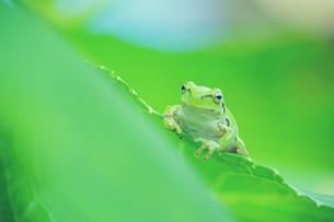 紫陽花の葉と蛙の写真素材 [FYI00226135]