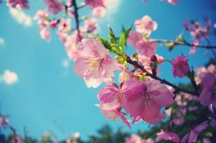 南国の桜の素材 [FYI00226138]