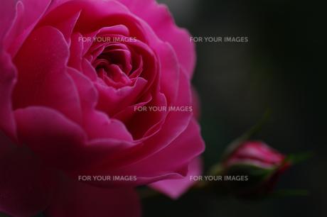 薔薇の素材 [FYI00226142]