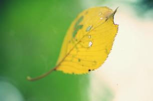 蜘蛛の巣にかかる黄葉の素材 [FYI00226150]