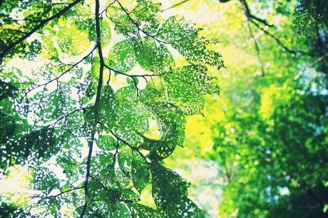 透かし模様の葉の素材 [FYI00226156]