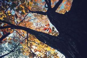 桜の幹と紅葉の素材 [FYI00226158]