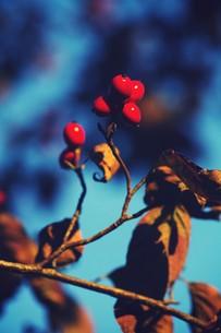 枯れ葉と赤い実の素材 [FYI00226159]