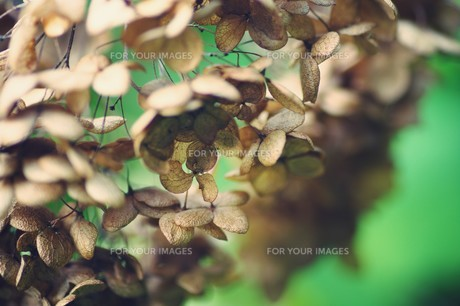 秋の紫陽花の写真素材 [FYI00226169]