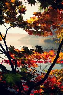 十和田湖畔の紅葉の写真素材 [FYI00226174]