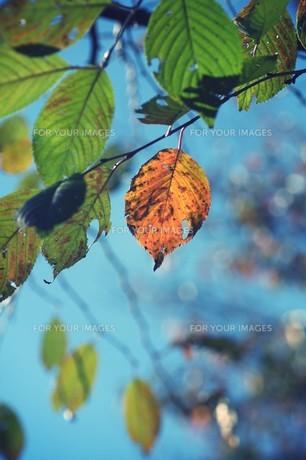 紅葉と青空の素材 [FYI00226179]