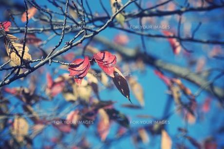 紅葉と青空の素材 [FYI00226180]