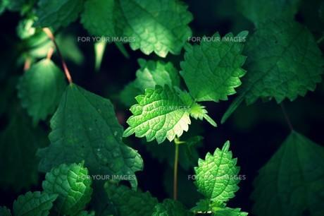 新緑と木漏れ日の素材 [FYI00226193]