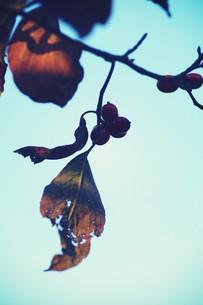 紅葉と赤い実の素材 [FYI00226198]