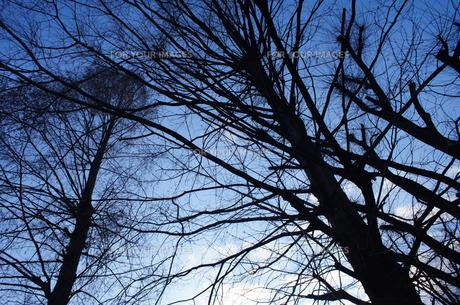 冬の木の素材 [FYI00226209]