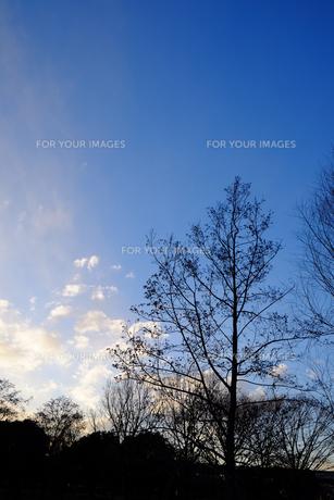 冬の木の素材 [FYI00226212]