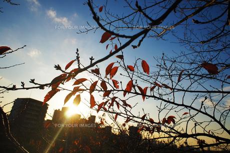 紅葉と夕暮れの素材 [FYI00226217]