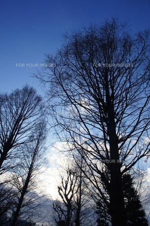 冬の木の素材 [FYI00226222]