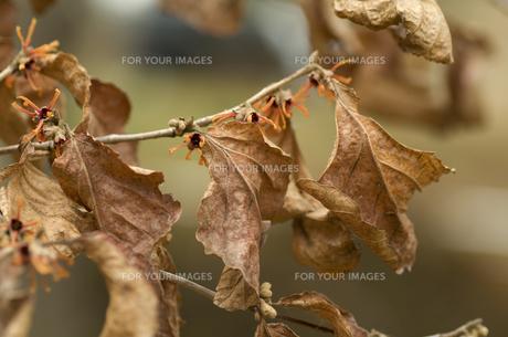 枯れ葉とマンサクの素材 [FYI00226242]