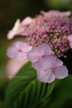 紫陽花の素材 [FYI00226246]