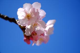 安行桜の素材 [FYI00226250]