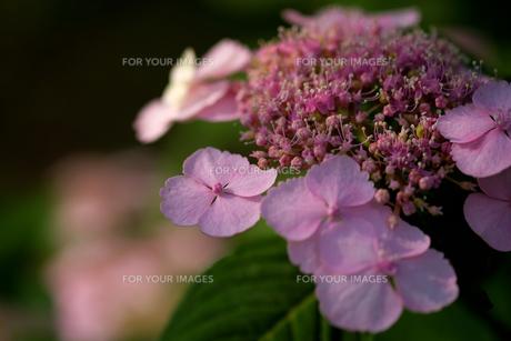 紫陽花の素材 [FYI00226272]