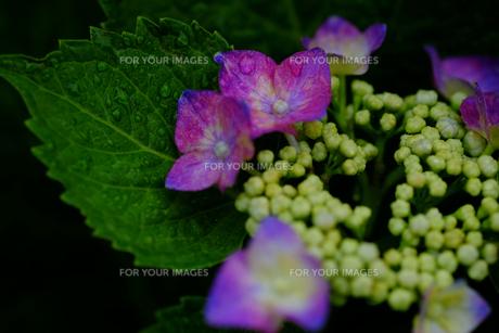 紫陽花の素材 [FYI00226279]
