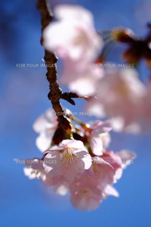 安行桜の素材 [FYI00226297]