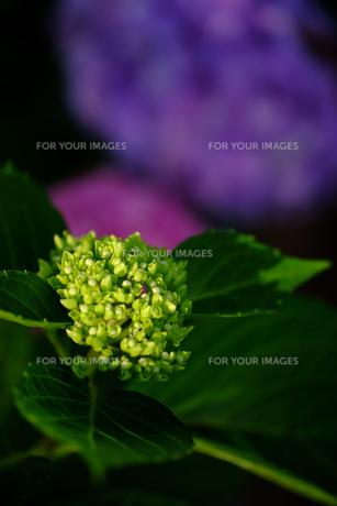 紫陽花の素材 [FYI00226299]