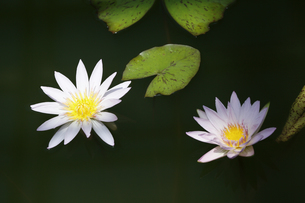 water lily.の写真素材 [FYI00226302]