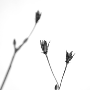snow flower1の写真素材 [FYI00226311]