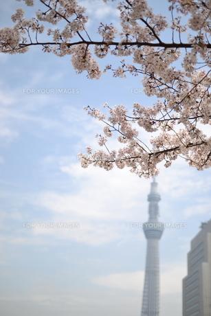 スカイツリーと桜の写真素材 [FYI00226371]