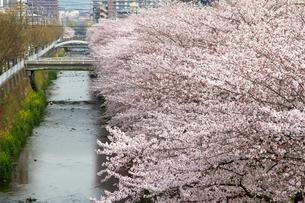 川沿いに咲く桜の写真素材 [FYI00226436]