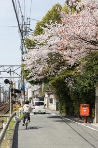 桜の道の写真素材 [FYI00226443]